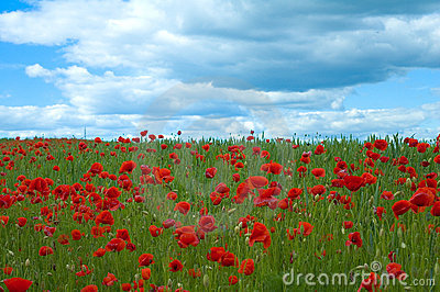 Poppy field in green