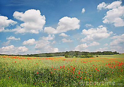 Poppy field. Landscape