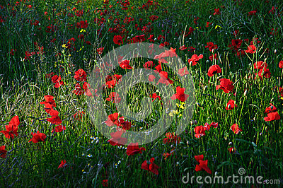 Poppy field landscape in countryside
