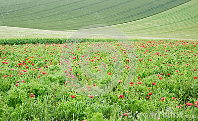 Poppy field landscape in English countryside
