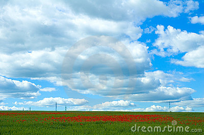 Poppy field with powerlines