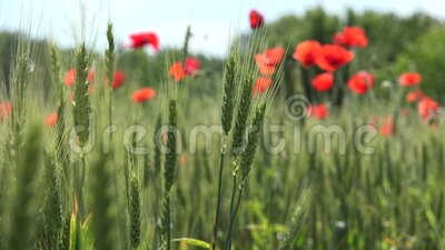 4.000 Poppy Field Red Flowers Agriculture Wheat Harvest Rye View Cereal Summer Land stock footage