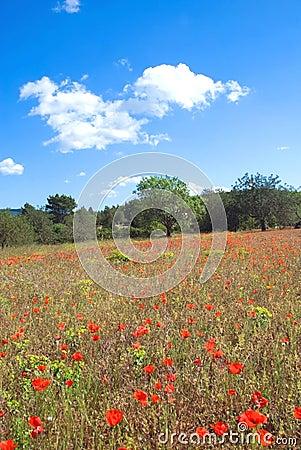 Poppy field vertical