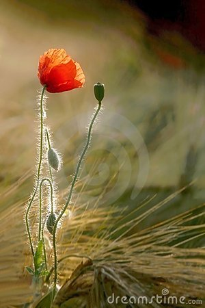 Poppy on a field of wheat at sunrise
