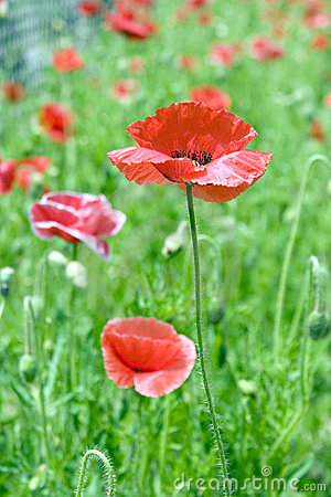Poppy flower .