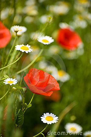 Free Poppy Flower Royalty Free Stock Photos - 14482738