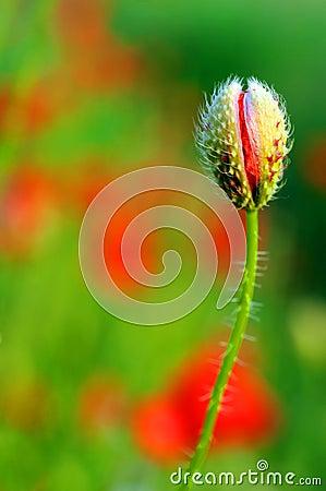 Free Poppy Flower Stock Image - 5305981