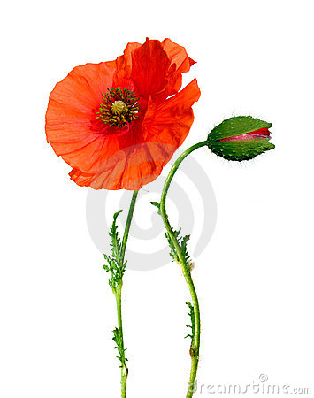Free Poppy Flower And Bud Isolated On White Royalty Free Stock Photos - 11100888