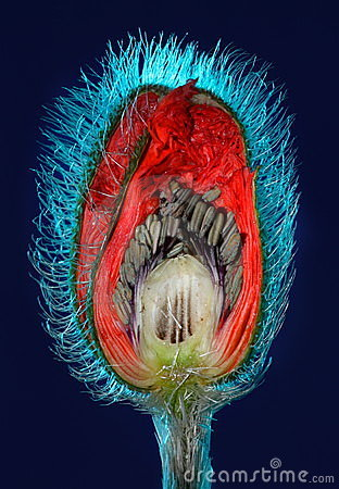 Poppy flower bud cut in half