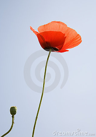 Free Poppy Flower Over Blue Sky Stock Photography - 8332212