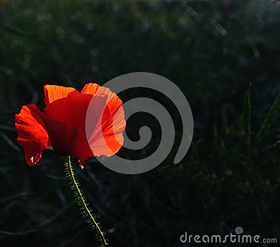 Poppy flower portrait in Summer
