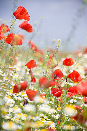 Free Poppy Flowers Stock Photos - 14482743