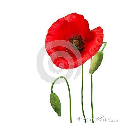 Free Poppy Flowers Royalty Free Stock Photo - 25109645