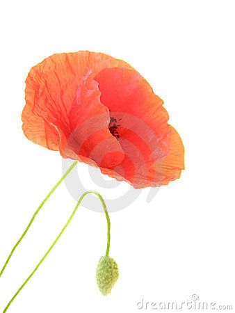 Free Poppy Flowers Royalty Free Stock Photos - 2536878