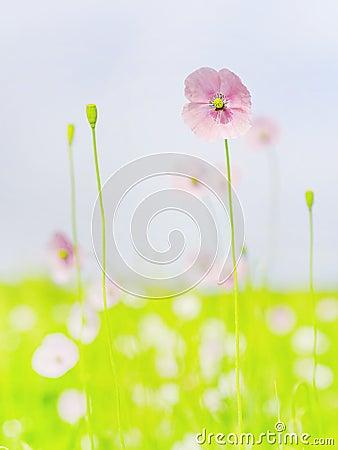 Free Poppy Flowers Royalty Free Stock Image - 55674926