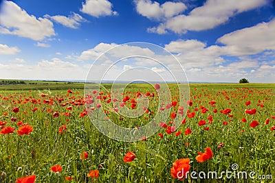 Poppy flowers against the blue sky / summer meadow