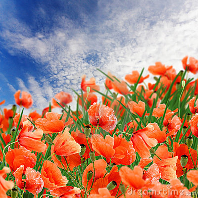Poppy flowers, green grass and cloudy blue sky