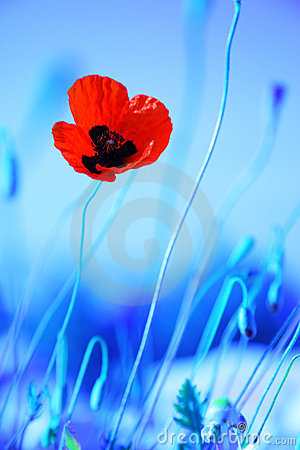 Poppy flowers meadow