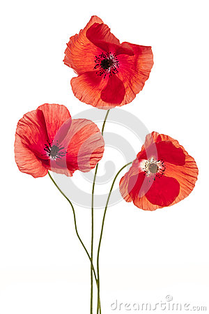 Free Poppy Flowers On White Royalty Free Stock Photos - 38838248