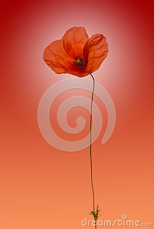 Poppy on gradient red background