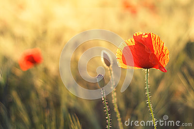 Poppy in a green field