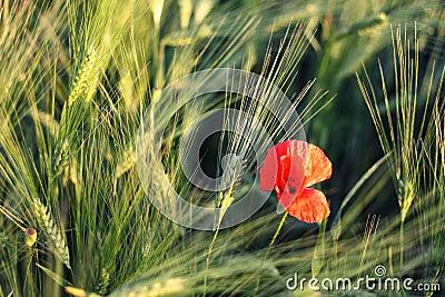 Poppy in a green field