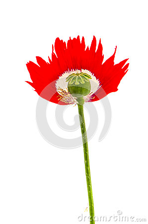 Poppy with green fresh head isolated on white