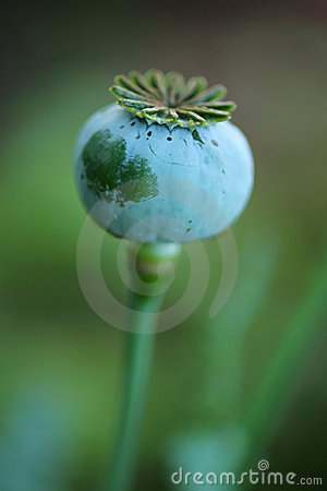 Poppy in nature
