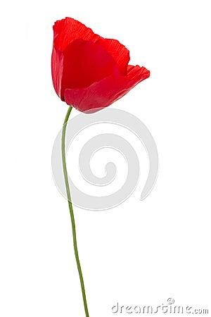 Free Poppy On White Stock Photo - 5420990