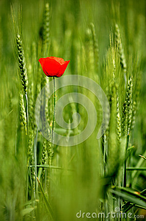 Single poppy in wheat field