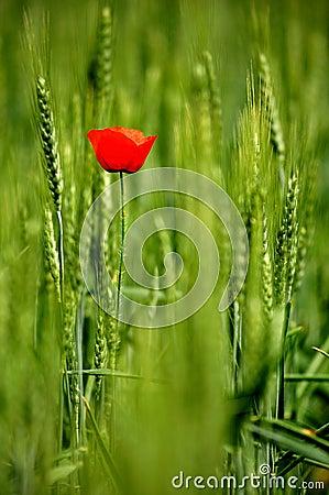 Single poppy in wheat field