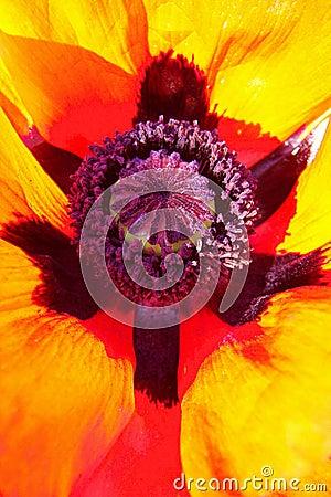 Poppy orientalny abstrakcyjne