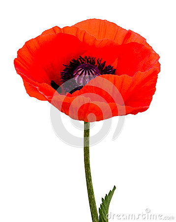 Free Poppy Plant Flora Stock Images - 41751654