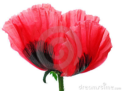 Poppy red isolated