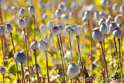Poppy seed capsules