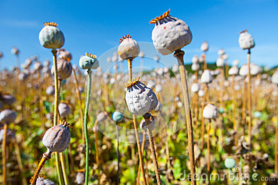 Poppy seed capsules on a background of the sky
