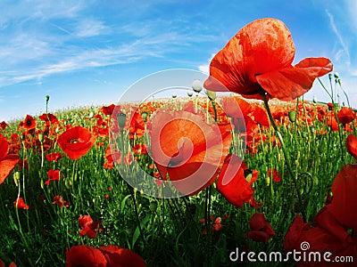Poppy seed field