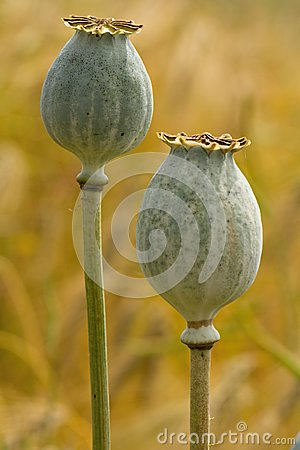 Free Poppy Seed Heads Stock Image - 32493261