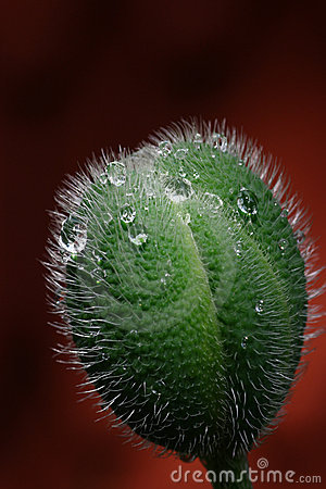 Poppy seedpod