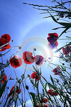 Poppy and sky