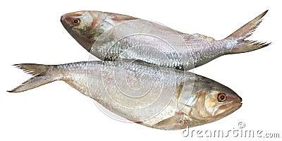 Popular Ilish fish of Southeast Asia