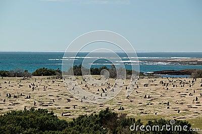 Population of Magellanic Penguins