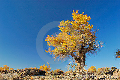Populus пущи euphratica