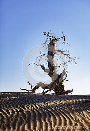 Free Populus Euphratica Died Without Fail Stock Image - 103369361