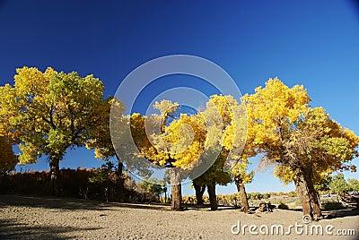 Populus euphratica tree with blue sky