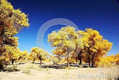 Populus euphratica tree forest
