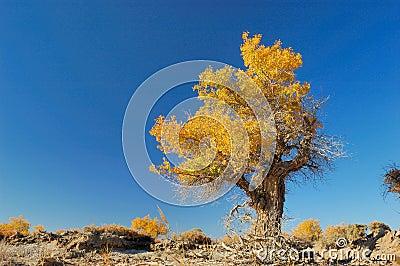 Populus Euphratica Wald