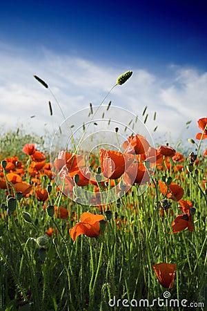 Free Popy An Wheat Field Stock Photo - 881230