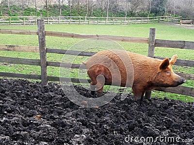 Porco enlameado grande