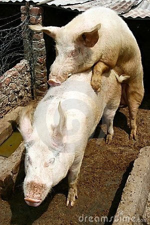 Porcs de accouplement